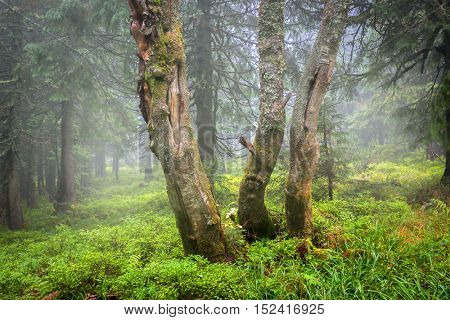 old trees in foggy forest