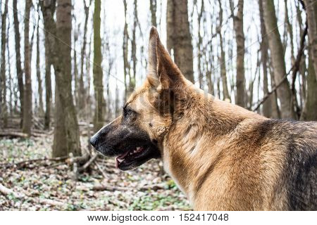German shepard dog in winter forest wilderness