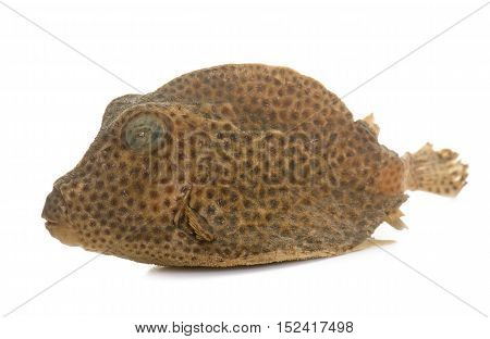 dried boxfish in front of white background