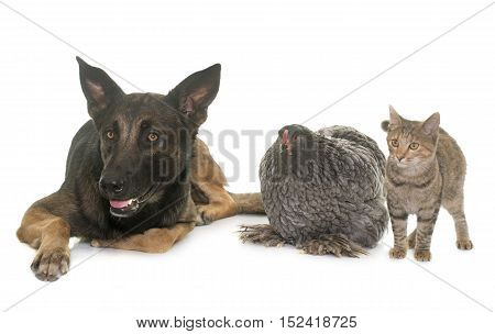 kitten chicken and belgian shepherd malinois in front of white background