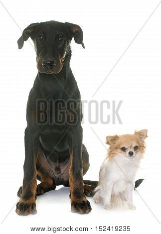 puppy beauceron dog and chihuahua in front of white background
