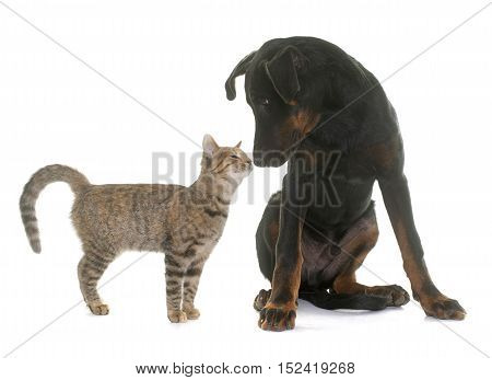 puppy beauceron dog and kitten in front of white background