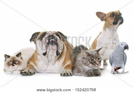 two bulldogs cats and parrot in front of white background