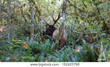 Hoh Rain Forest, Olympic National Park, WASHINGTON USA - October 2014: Roosevelt Elk in the mossy trees