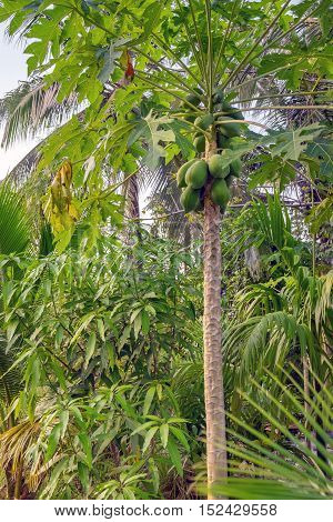 Unripe many green papayas growing on tree, bunch fruits, lat. Carica papaya or Caricaceae.