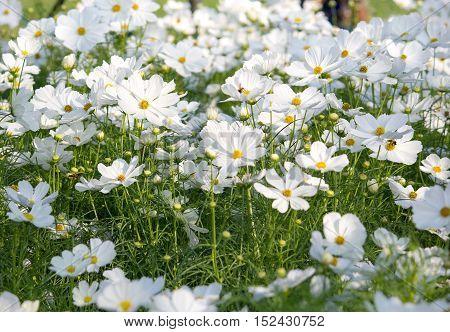 white cosmos flowers in the garden outdoor