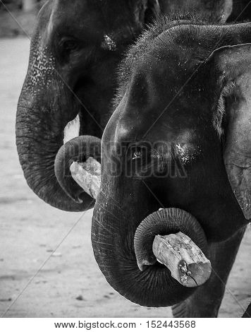 Elephants use his trunk to lift wood at Kenyir Elephant Conservation Village.