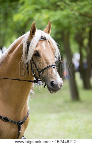 portrait of a palomino horse isolated outdoor