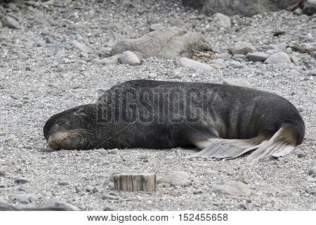 male northern fur seal lying on the ocean coast