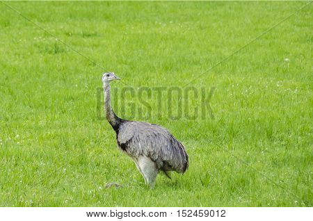 The american greater rhea (Nandu Rhea americana) sitting in a grass in Mecklenburg-West Pomerania Germany. The ratites have erupted 15 years ago from an enclosure and now grown into a stable population.