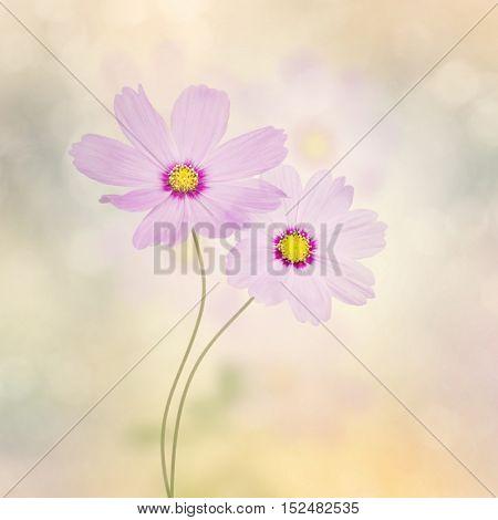 Blossom of Purple Cosmos Flowers