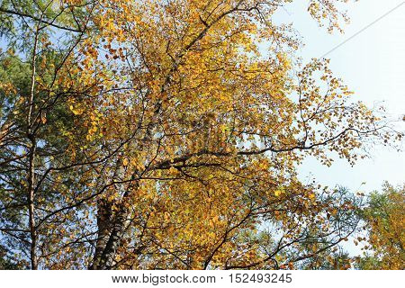 Birch branch with yellow leaves in autumn