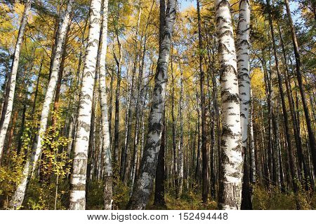 The fine and saturated with paints birch forest