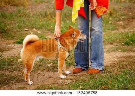 Girl walking with a dog Shiba Inu in autumn park. Pedigree dog. Man is unrecognizable. Riot of colors of nature. Outdoor Activities.