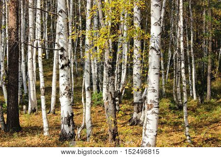 Beautiful birch trees with yellow leaves in autumn
