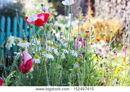 Poppies, daisies and garden flowers in September