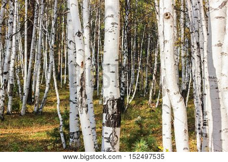 The white trunks of birches in the forest