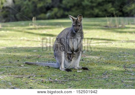 Kangaroo Mother, Common wallaroo (Macropus robustus), with a Baby Joey in the Pouch