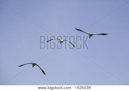 Geese In The Flight 1