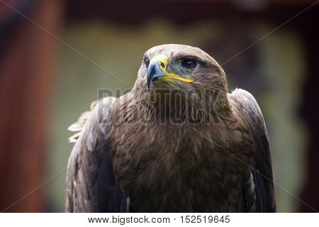 Steppe Eagle Aquila nipalensis detail of eagles head eagle head JPG background.