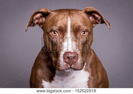 pitt bull dog close portrait in grey background