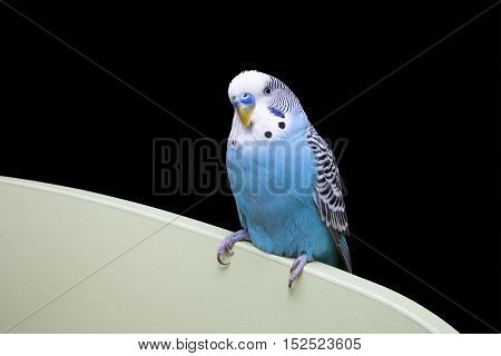 Wavy blue parrot sitting on the furniture on a black background