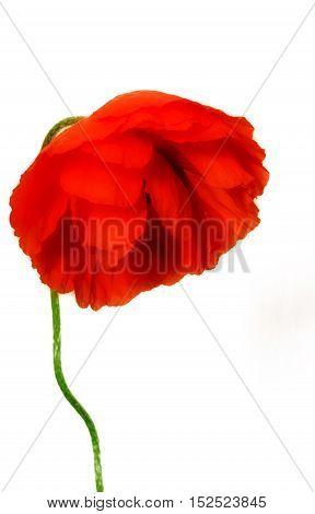 sad wild poppy on a white background