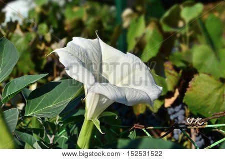 Datura inoxia Mill flower closeup.Sacred datura blooming.