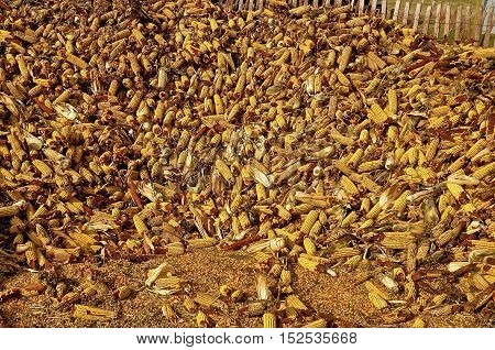 Cobs of picked corn are stored outside in a crib of snow fence lath.