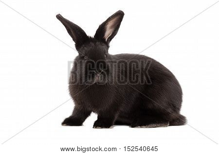 Portrait of a black rabbit isolated on white background