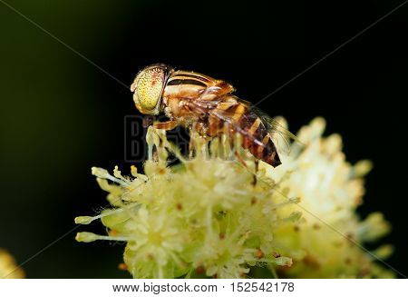 Eristalinus Taeniops  Diptera  Syrphidae hover fly collecting pollen in flower