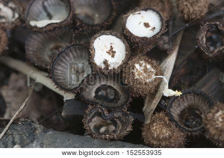 Cyathus striatus mushrooms on the autumn leaves