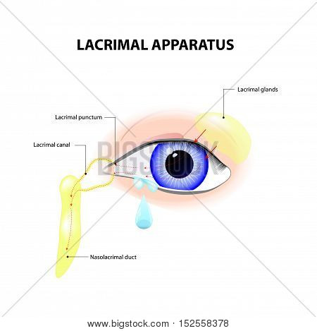 Lacrimal Apparatus. Anatomy of lacrimation. secretion of tears which serves to clean and lubricate the eyes.