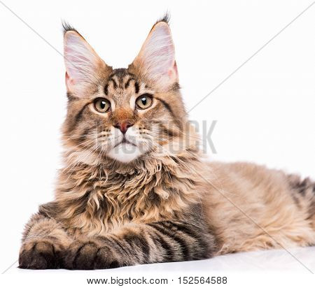 Portrait of domestic black tabby Maine Coon kitten - 5 months old. Cute young cat isolated on white background. Close-up studio photo of striped kitty looking at camera.