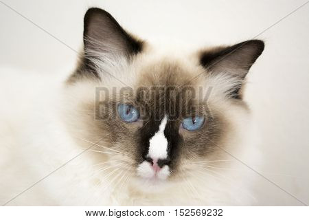 Ragdoll Cat before white wall in the room