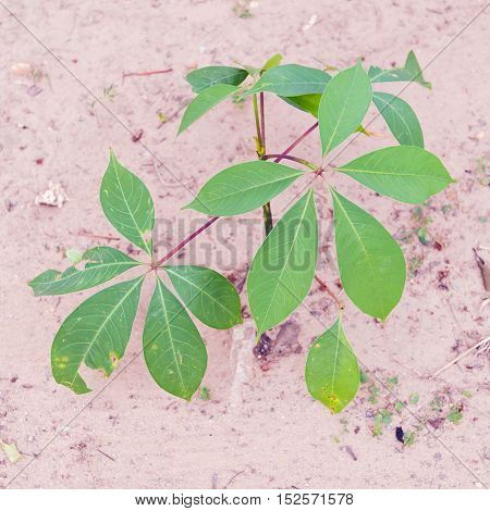 Garlic Vine Plant Or Mansoa Alliacea, Pachyptera Hymennaea On The Soil