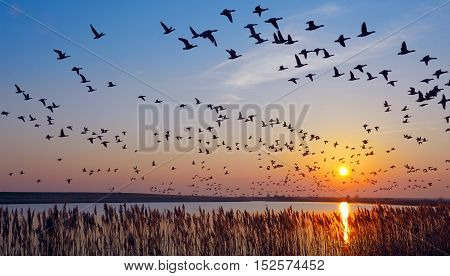 Flock of Barnacle Geese in East Frisia at North Sea in Flight,Germany