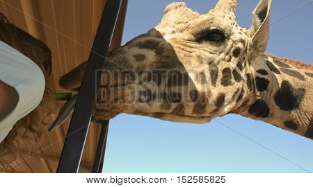 CAMP VERDE, ARIZONA - OCTOBER 13: The Out of Africa Wildlife Park on October 13, 2016, near Camp Verde, Arizona. A tourist feeds a giraffe celery from her mouth on a shuttle bus at the Out of Africa Wildlife Park near Camp Verde, Arizona.