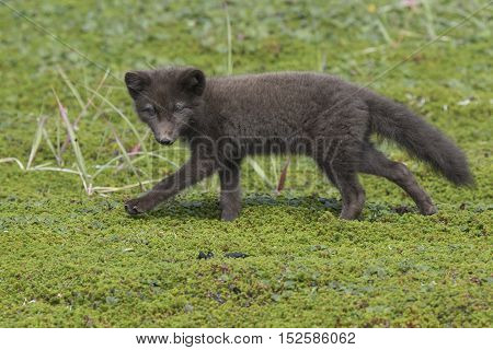 Commanders blue arctic fox puppy running on green tundra