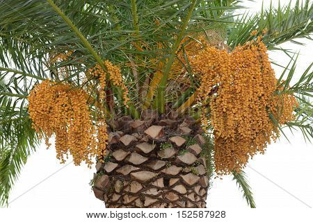 Bunch of dates on a palm tree.