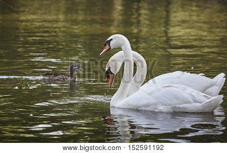 White Swans Pair
