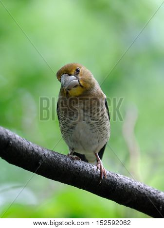 Perching juvenile Hawfinch (Coccothraustes coccothraustes) against freen background