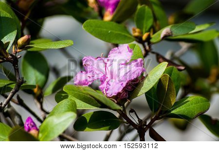 Pink and white flower centered in green leaf foliage