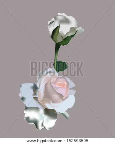 Realistic white roses vector drawn on a rosy background.