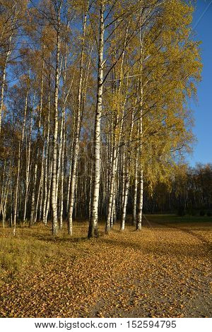 Birches in autumn park in a sunny day.