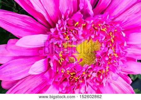 Vibrant pink flower with yellow center and sharp petals