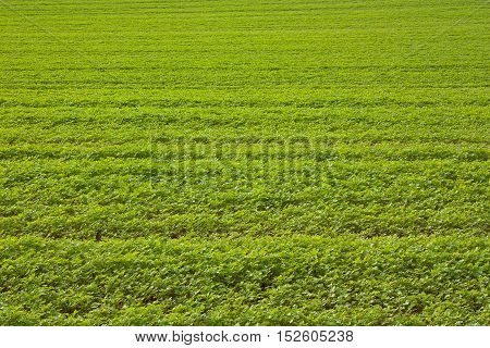 A green agricultural field. Location Bad Pyrmont North of Germany.