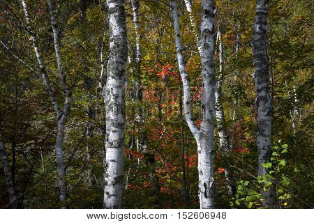 Birch tree trunks in  autumn forest with colorful fall foliage. Algonquin Provincial Park, Canada.