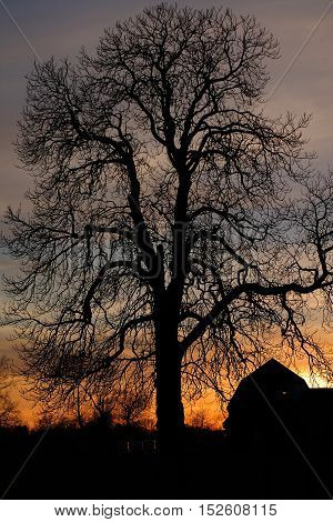 Silhouette of an old bald tree against the winter sunset