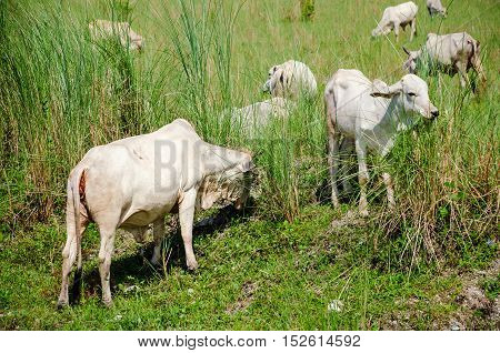Close up of skinny cows eating grass